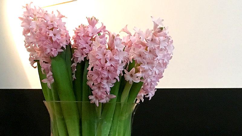 hyacinten die verleiden